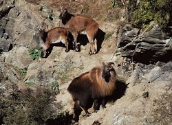 Pure New Zealand - Himalayan Bull Tahr and Nanny Tahr.  Click for full details regarding this package.